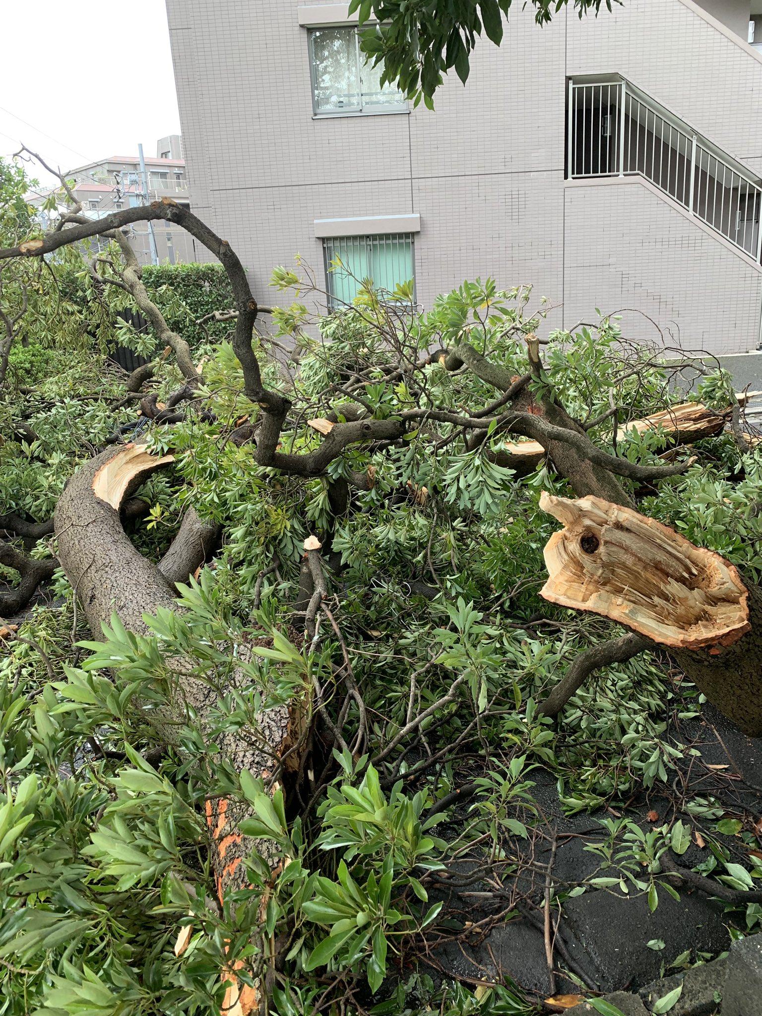 画像,うちの近所にタブノキという由緒ある巨木があるのですが、、見事にやられてました。 https://t.co/IlytOMxunW…