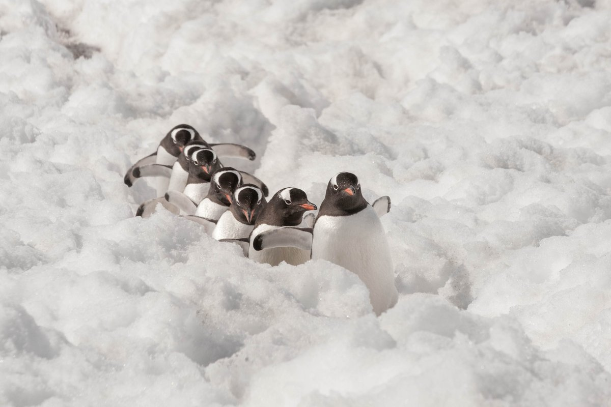 Where do you think these Gentoo #penguins are going? https://t.co/d4jGX4bZSe