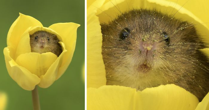 oh fuck me I just learned that field mice crawl inside tulips to pig out on pollen and then they overdo it and fall asleep inside the flower and I can't even. Look at his face close up 😭 pollen is nature's Dorito dust