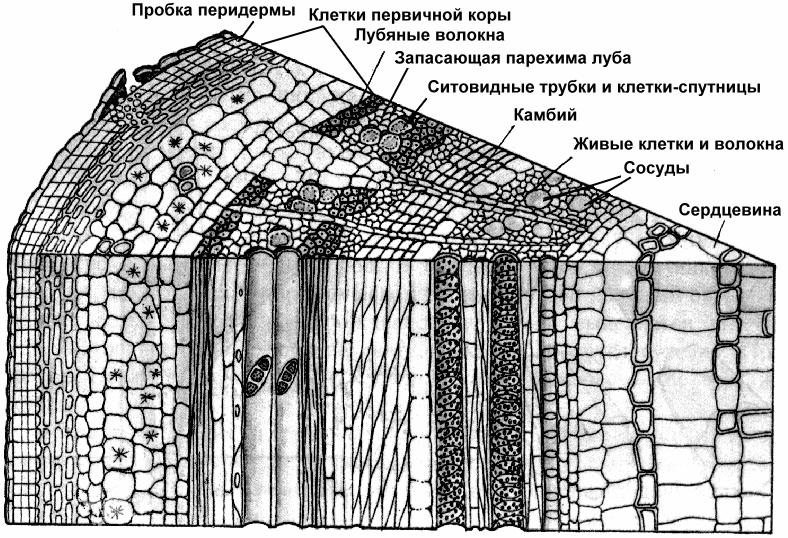 чайка схема строения коры дерева окном всё