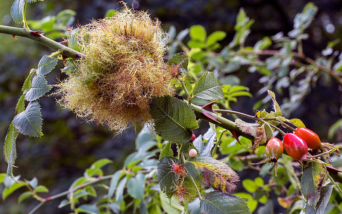 Rose galls have an interesting history of use in traditional medicine and are packed with astringent phytochemIcals like tannins.