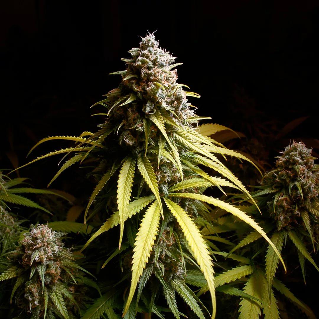 Шишка картинки конопли с курящим марихуану рядом если стоял