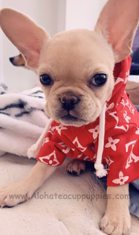 Aloha Teacup Puppies (@Alohateacuppup1) | Twitter