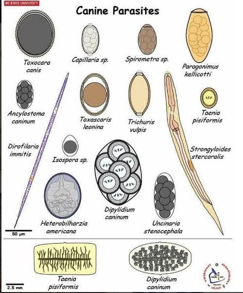 parasitos comunes perros