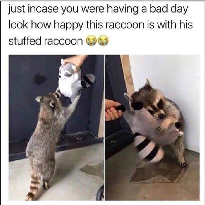 Hashtag #racoons na Twitteru