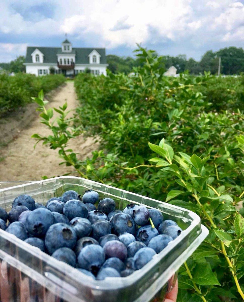 Dimeo Farms Blueberry Plants Nursery