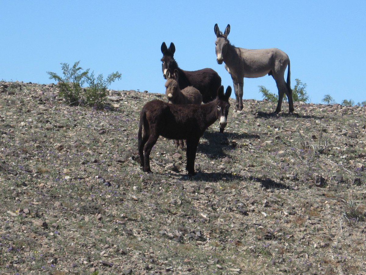 $58,000 reward offered after more than 40 wild burros found shot dead in the Mojave Desert