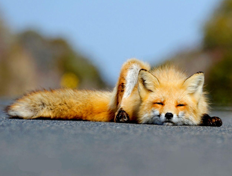 Прикол картинки лиса