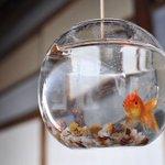 風鈴のように金魚鉢をつるしている「金魚玉」を知っていますか?