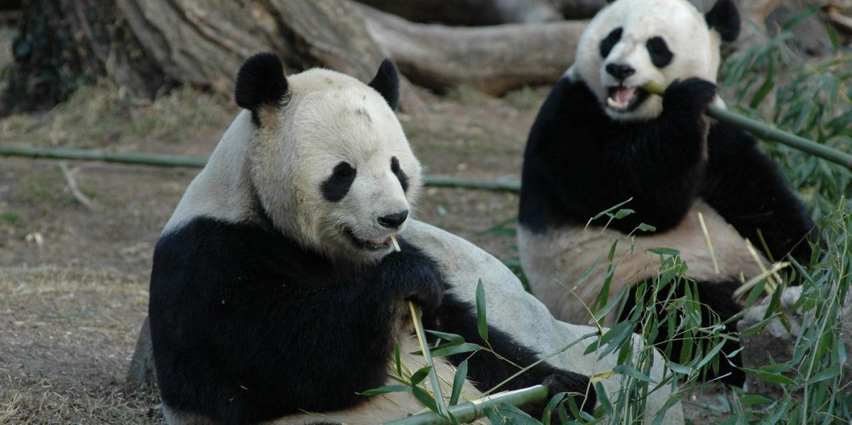 People Fear China Will Recall Giant Pandas From US Zoos Over Escalating Trade War
