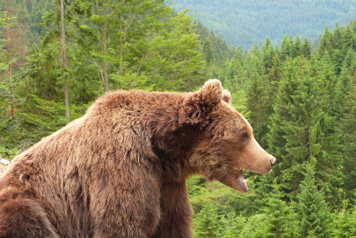 медведь живу в россии картинки