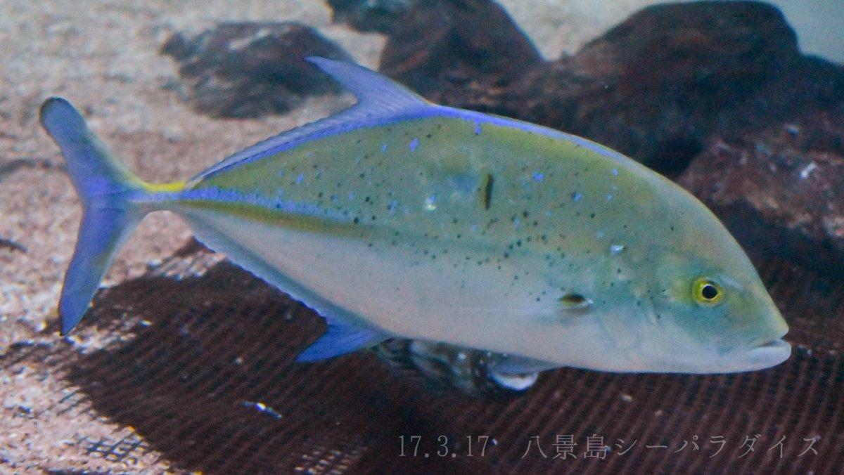 魚 シガテラ 海水