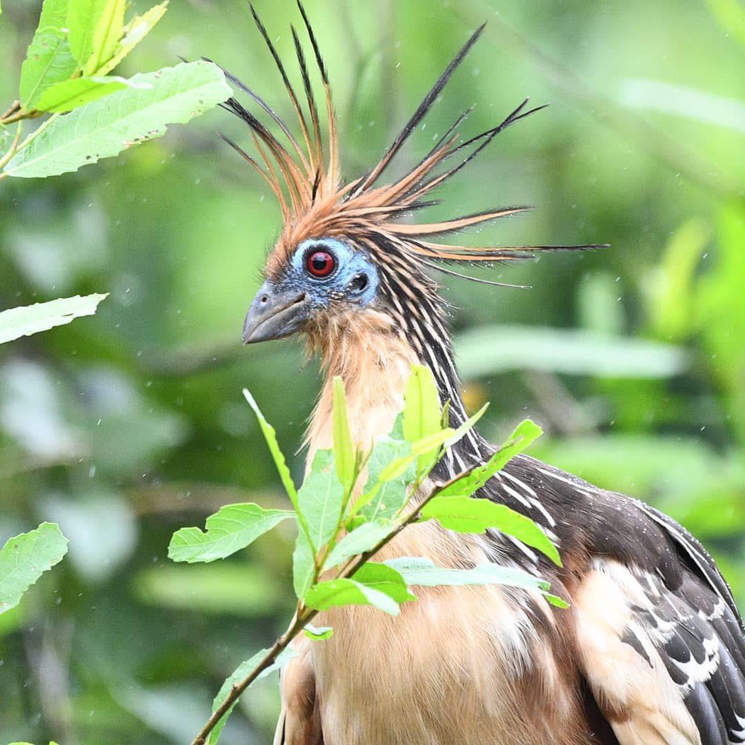 течение птица гоацин фото долгие периоды времени