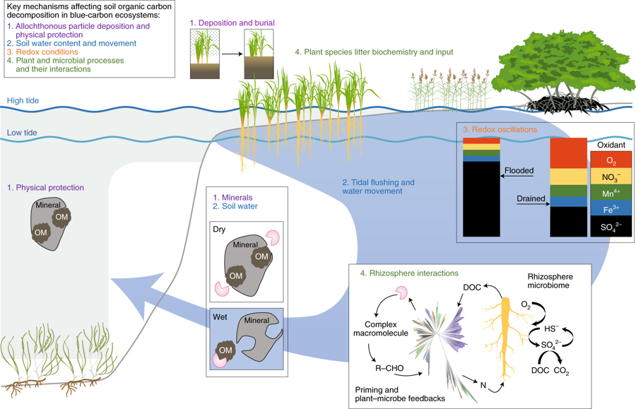 Coastal seagrasses, mangroves and salt-marshes capture and hold carbon, often for thousands of years. But, a WHSG-supported study shows these carbon sinks are threatened by changing climate and environmental conditions. @SaltyMudology @noaaocean @SeaGrant
