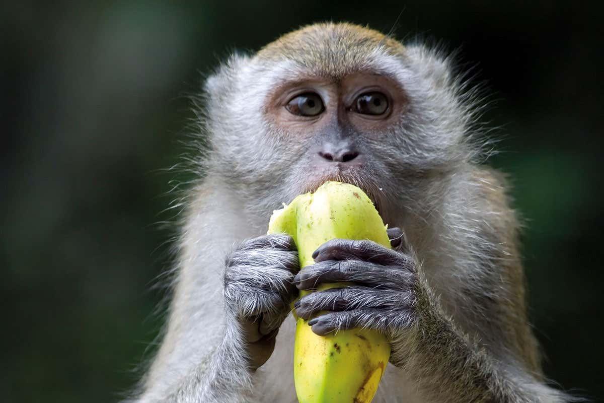 брата обезьяна с бананами в картинках благодаря