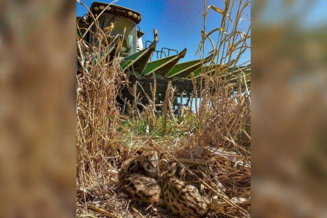 #EmbajadorMartini | Logró frenar la cosechadora a metros de crías de pumas