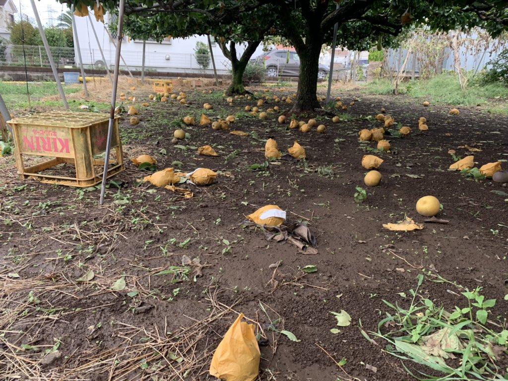 画像,昨晩の台風の影響で梨とりんごが大量に落ちました。レモンとザクロは木が折れてしまい😣倉庫のトタン屋根は剥がれ、春植えた苗木たちはぶっ倒れてたりと、その他沢山の台風…