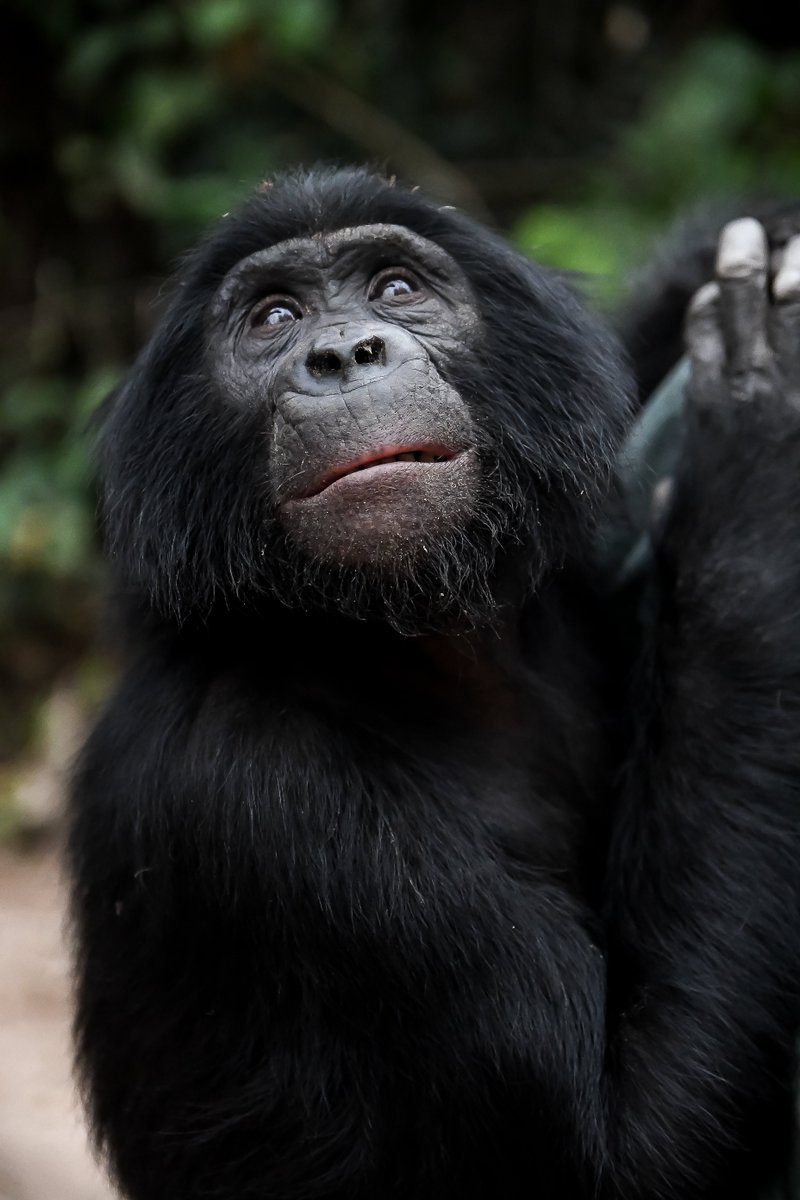 Lola Ya Bonobo (@Lola_ya_Bonobo) | Twitter