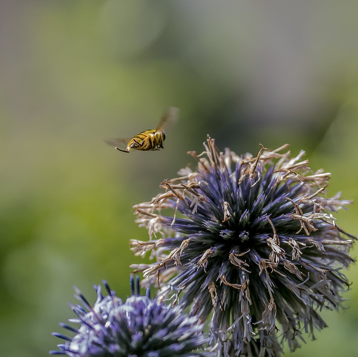 Moving on to the next globe thistle @TwigsSwindon. Such striking insects.