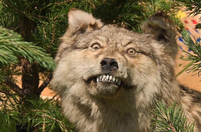Марта, самые смешные картинки волков