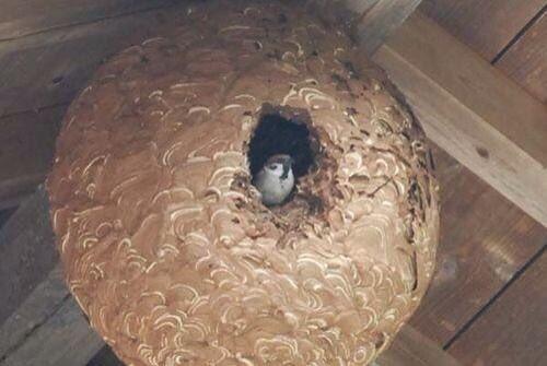 スズメバチの巣に棲みついたスズメ