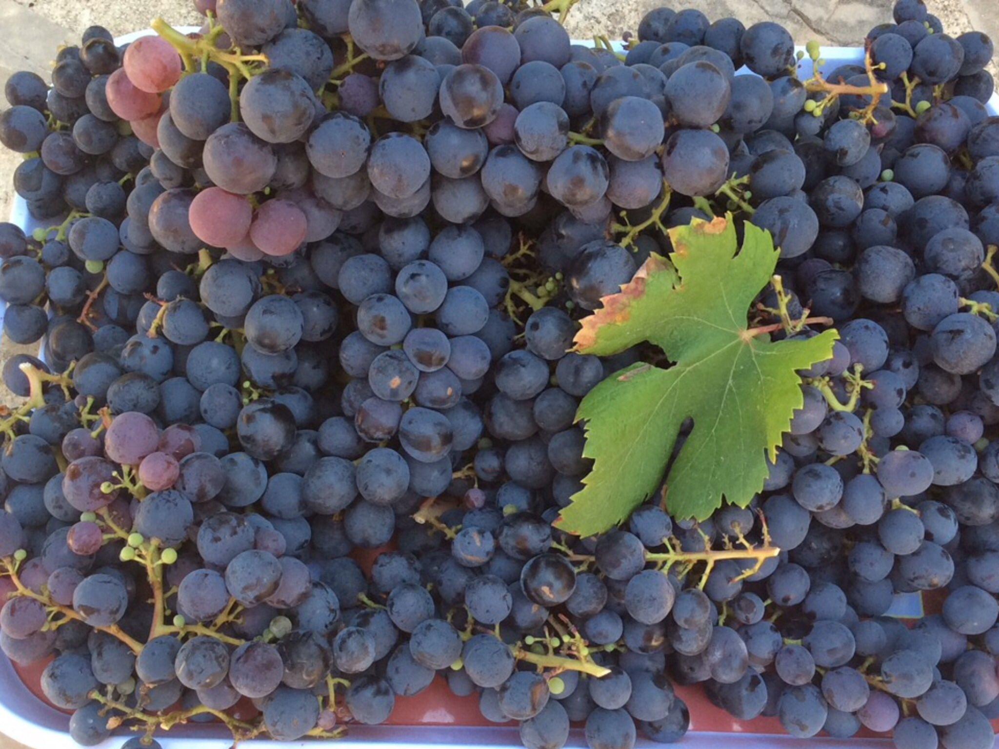 попробовать 3 сентября день винограда стихи только многие