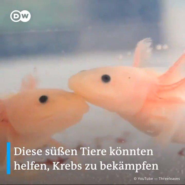 🎞 Axolotls sind richtige Superstars!🦎🏆 Die Lurche können Beine, Arme und Organe nachwachsen lassen und sind resistent gegen Krebs. Wir sind ein bisschen neidisch...
