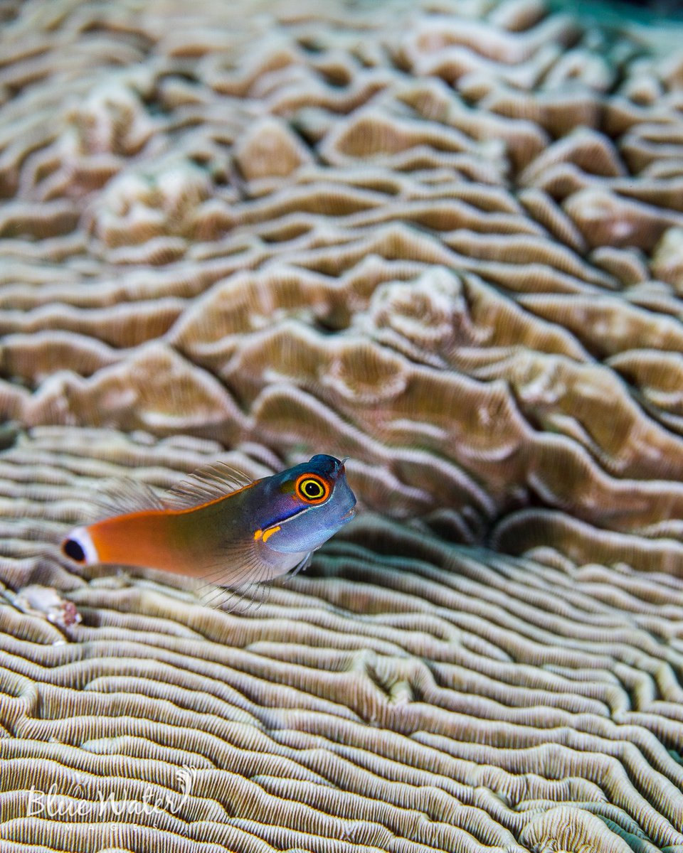 My #DailyBluePlanet post  Just a blenny hanging out on a hard coral...   More:  https://www.instagram.com/KimberlyLTripp/ https://www.facebook.com/BlueWaterImages/…   #SaveOurSeas #scuba #diving #Misool #Indonesiapic.twitter.com/69LfDE6HbO