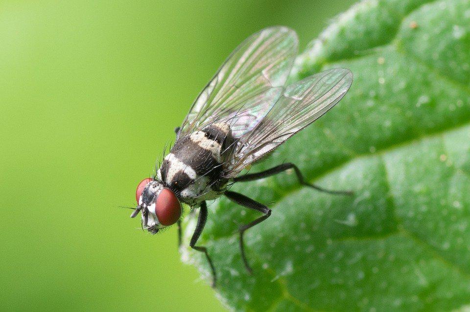 La mosca dei frutteti ha le ore contate. Scoperto ...