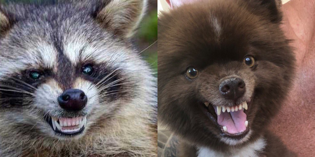 guys why does my dog look like a raccoon? #dogpelganger