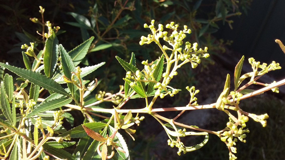 Christmas Bush Tea.Peter F Williams On Twitter Flower Buds Aplenty As The