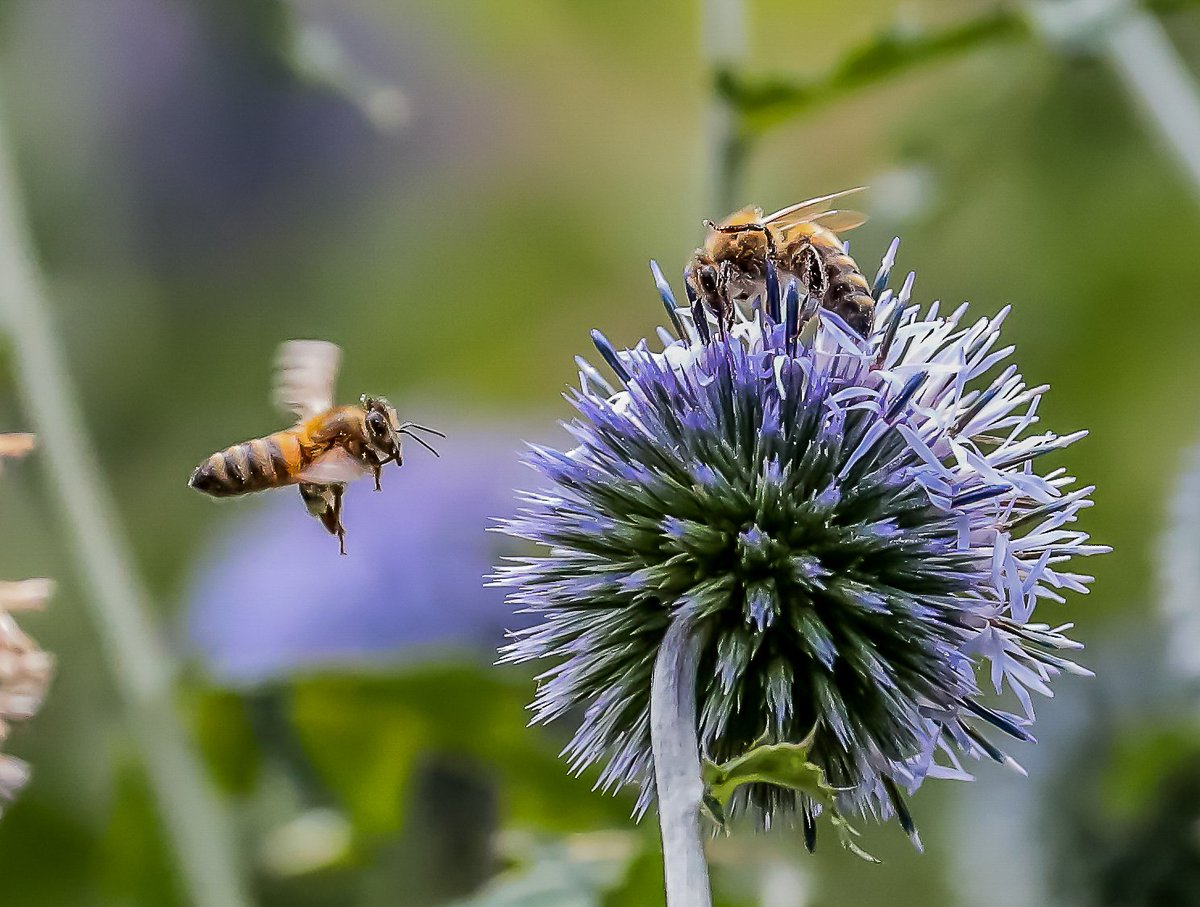 Room for one more? Honey bees and globe thistles, @TwigsSwindon.