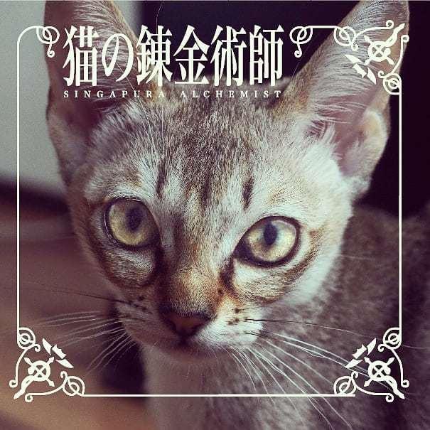 キャットフードを錬成‼️ #シンガプーラ #シンガプーラ子猫  #singapura #はがれん #鋼の錬金術師  #アニメ猫