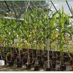 Image for the Tweet beginning: Our glasshouse Maize is getting