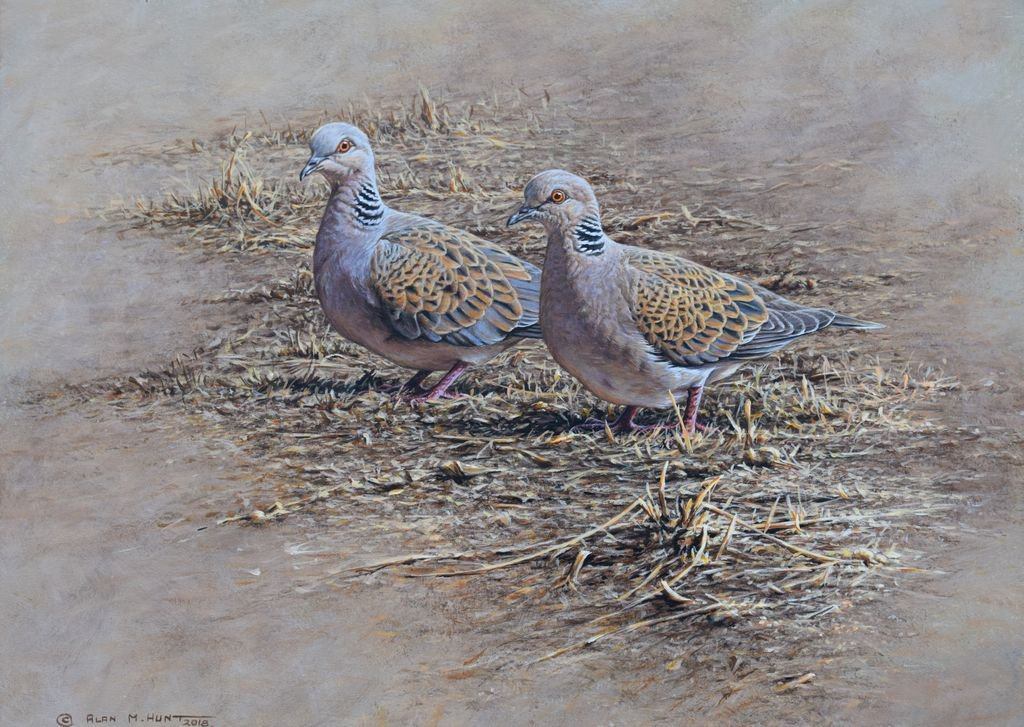 Jonathan Pomroy On Twitter Turtle Dove Studies Original Watercolour Donated To Silent Auction Raising Money For The Substantial Population Of Turtle Doves Northyorkmoors This And Other Paintings To Help Saveturtledoves Bid Soon