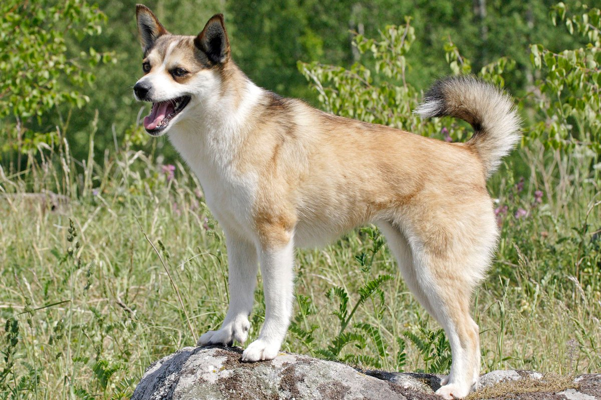 hund med diare