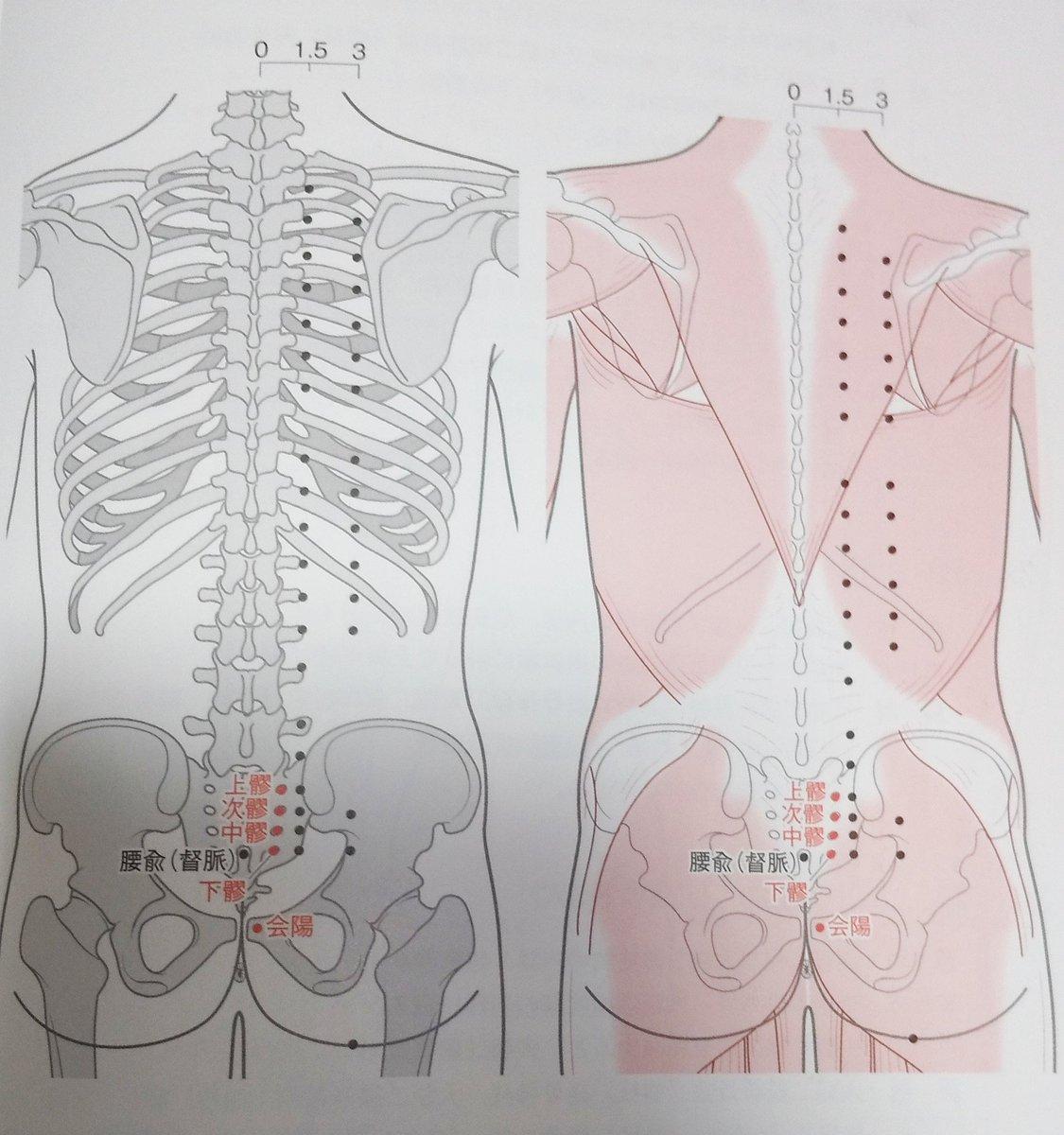 🔸次髎:膀胱経  ・仙骨部、第2後仙骨孔  ・腰背腱膜  ・仙棘筋>脊髄神経後枝  ・感覚神経>中殿皮神経  ・血管>外側仙骨動脈  ・主治>腹鳴、下痢、陽萎、小便赤渋、淋濁、月経不順、赤白帯下、痛経、陰部の痛み、腰脊部の痛み、転側不能、腰以下の知覚鈍麻