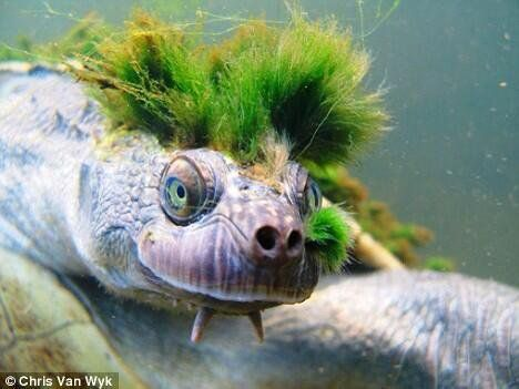 The punk rock turtle has a bright green Mohawk made of algae growing on its head. This is used for camouflage.