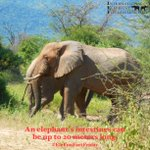 Image for the Tweet beginning: Happy #EleFunFactFriday!  An elephant's intestines can