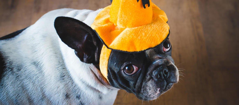 Courtneys Canine Clips: French Bulldog As Chucky dlvr.it/RDZ6l7