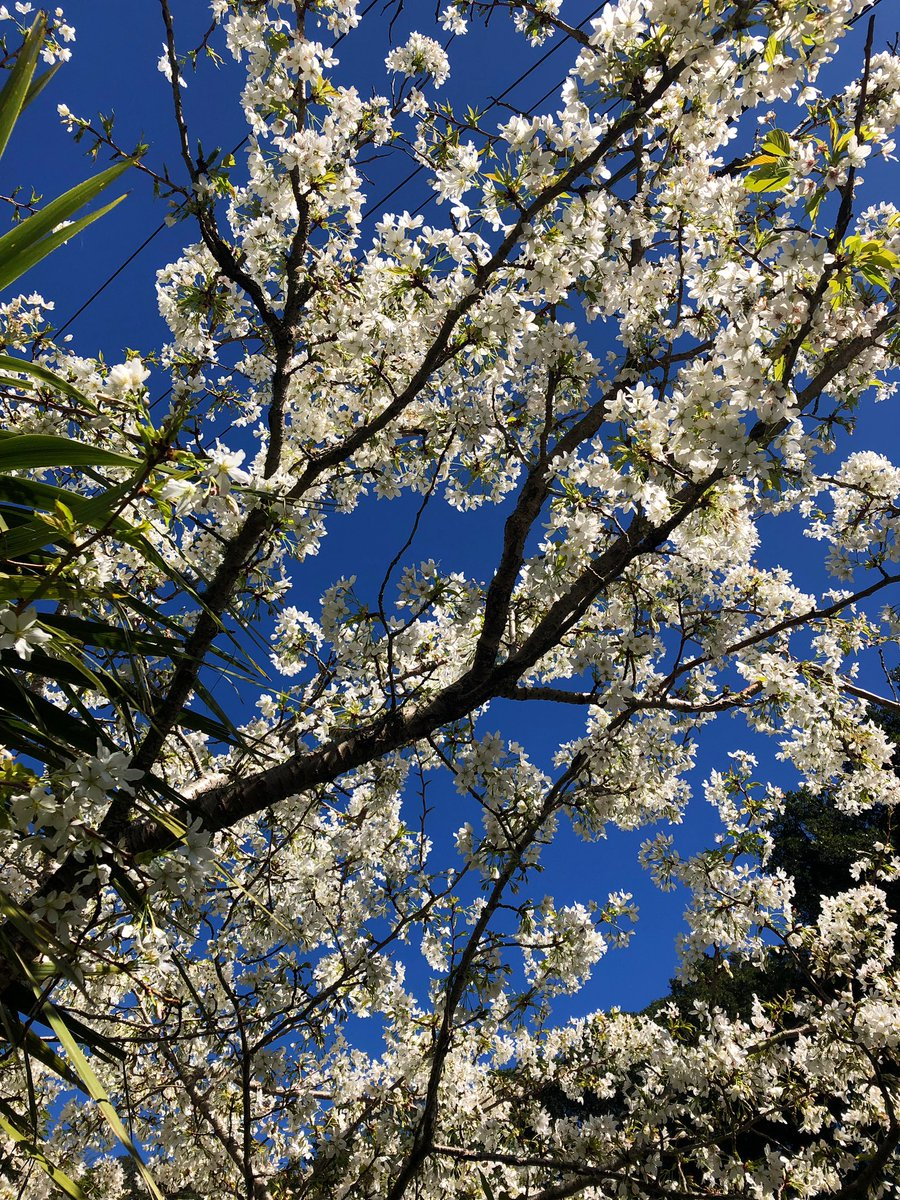 Always a sure sign that #Spring has arrived in #Wellington - this blossom tree just lights up the street! Stood under it today inhaling that divine scent  #springtime #springishere in #Wellington<br>http://pic.twitter.com/jNf5c0su9y