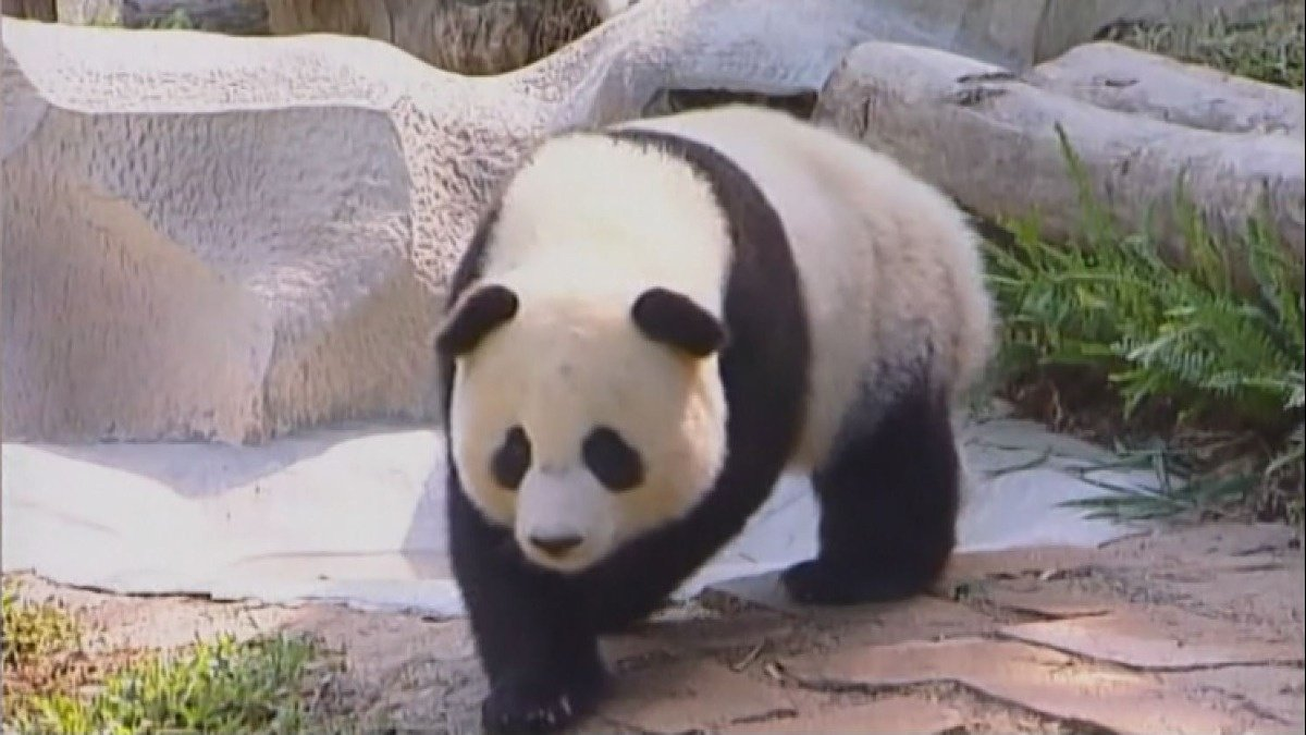 Panda death in Thailand sparks outrage in China https://reut.rs/2AyO7JW