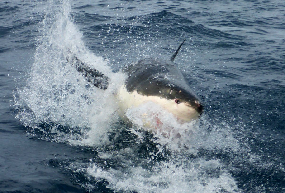 RT @sharkcagediving: 4 sharks today including some amazing breaches! 🦈🦈🦈🦈 #portlincoln #sharkdiving #cagediving https://t.co/jZ89IwEDX8