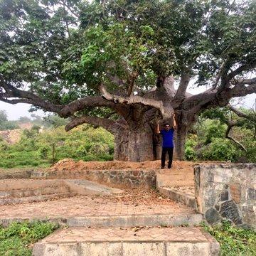 💡#معلومة شجرة #التبلدي (الباوباب) من الأشجار المعمرة الضخمة. تشتهر بضخامتها و تخزينها للماء. و ثمرها(القنقليز)من أشهر أشجار #مدغشقر و #السودان، متواجدة أيضا في #ضلكوت #سلطنة_عمان المصدر: @bakr2040#مكشات #واتساب_مكشات