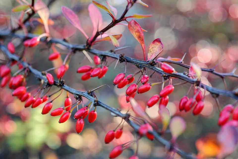 Gardeners World Mag On Twitter Berry Bearing Plants Provide A