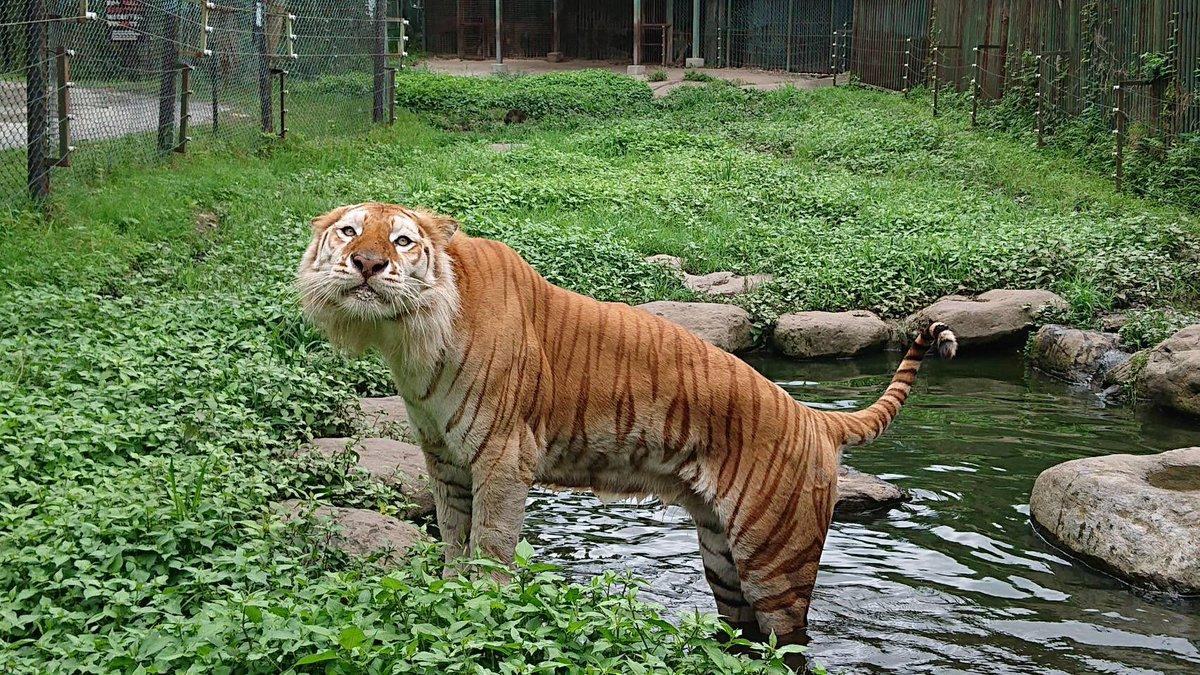 ボルタ君、今日はお外で足湯を楽しんでいました😊♨️(水です)明日はトラを知ろうイベントで会えますよー!#タレ目 #タレ耳 #かわいすぎ #ボルタのいる生活 #tiger #ベンガルトラ