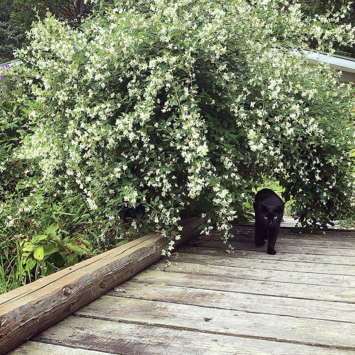 橋の上から小川を眺める黒猫。(φдφ๑)日課です。