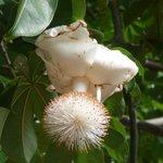 バオバブの花!椎茸みたいな形になってる!