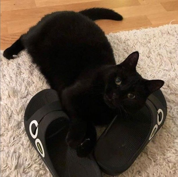 Darn! This would have been perfect to post last Friday the 13th! Oh well, you can never have too many cute cat photos. Or Oofos photos!     photo credit @vaskian  . . #OOFOS #recovery #recoverfaster #OOfoam #catlovers #feeltheOO #run #running #trailrunning<br>http://pic.twitter.com/1YITEpS2Ah