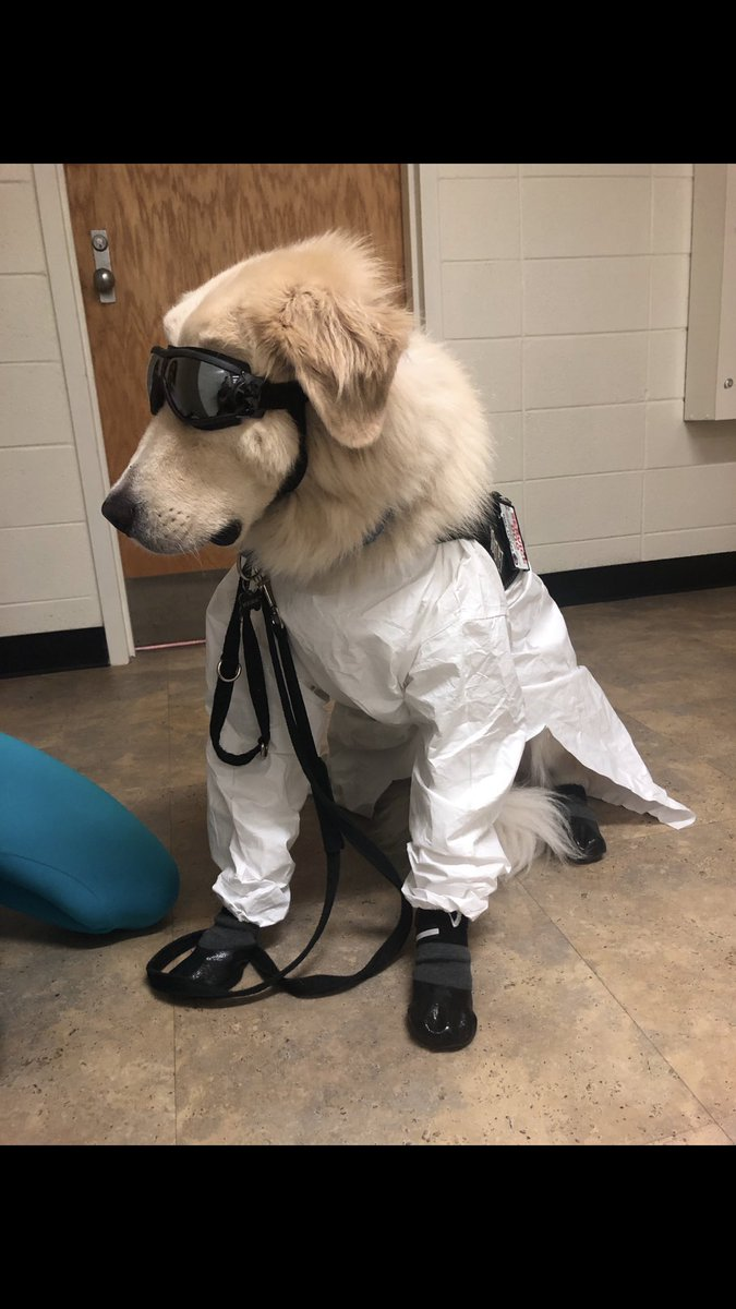 So in my roommates lab, one of her classmates has a service dog and apparently service dogs also have to wear lab gear &...  Y'all..  just look how cute this is https://t.co/CWvYlh6trF